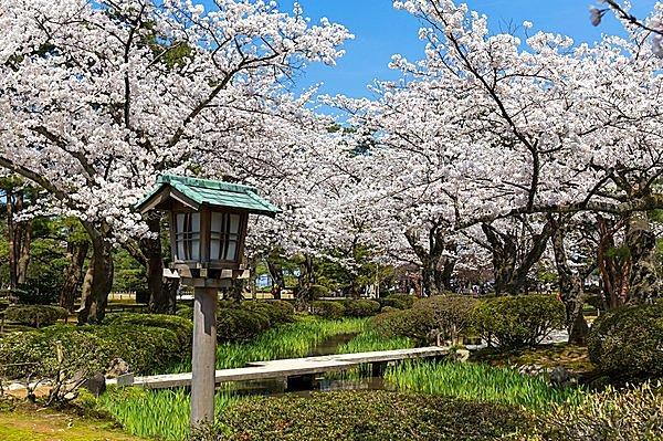 桜の名所「兼六園」で花見はいかが! 無料開放&ライトアップで素敵な思い出を