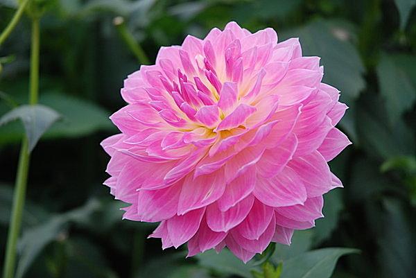 「花の王」ともよばれる春の花・牡丹