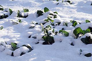 樋口一葉作「大つごもり」にも出てくる「小松菜」は、江戸時代からお雑煮に欠かせない東京野菜