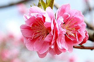 七十二候「桃始笑(ももはじめてさく)」……笑顔のように愛らしい桃の花が咲くころ