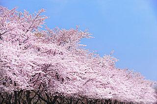 桜の季節到来! 開花の目安となる標本木、そして、川沿いに桜スポットが多い理由とは?
