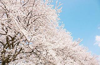 南から北へゆるやかに上昇中…「桜前線」は季語? 気象用語?