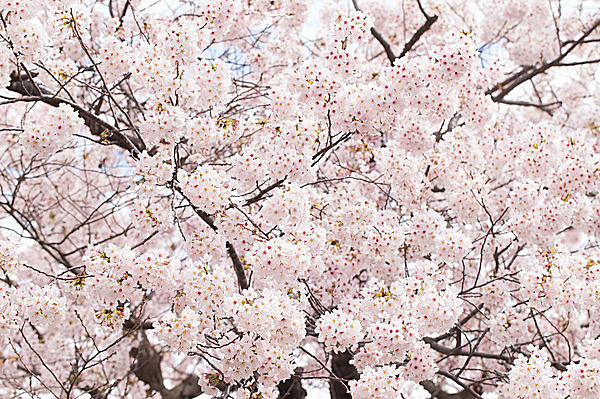 七十二候「桜始開(さくらはじめてひらく)」。お花見シーズンの開幕です!!