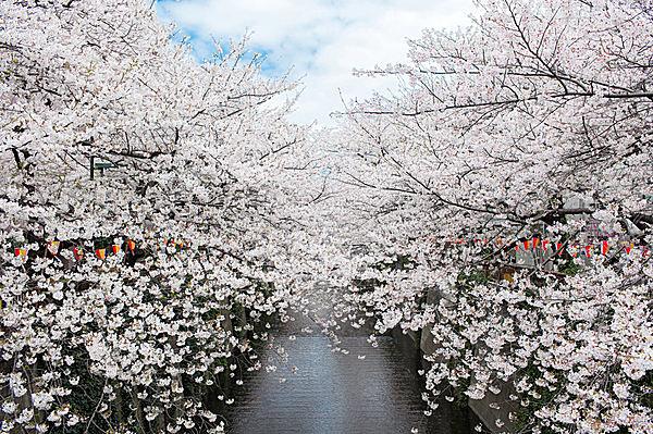桜前線北上中!花冷えのおかげか、満開まで長く花を愉しめる春に