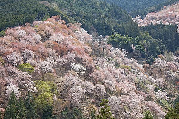 いにしえより日本人に愛される桜。咲いてよし、散る姿よし