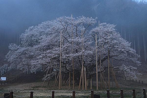 岐阜県「根尾谷 淡墨桜」をはじめ各地にある一本桜の風情もまたよし