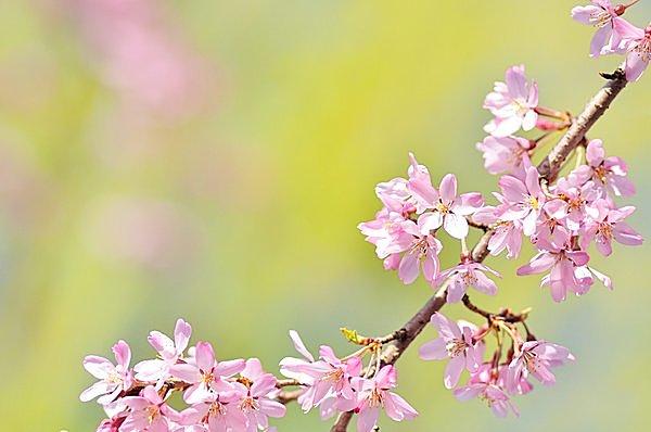 七十二候「桜始開(さくらはじめてひらく)」。お花見シーズンの開幕です!!_画像