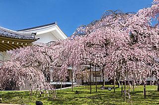 桜満開!遅咲きの画家が描いた二つの桜も要チェック!