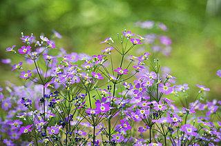 花暦 4月「桜草(サクラソウ)」~栄枯盛衰をへて、世界へ広がった小さな花