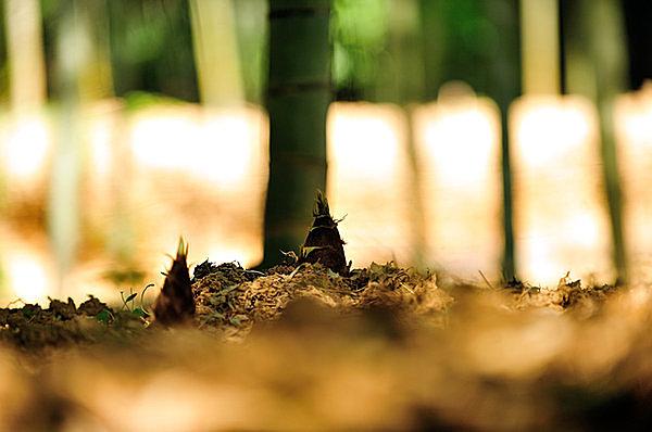 萌えいづる芽のパワーをいただく!春の味覚 「筍(たけのこ)」(tenki.jpサプリ 2016年04月06日) - 日本気象協会 tenki.jp