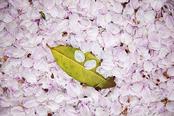 花びら 桜の