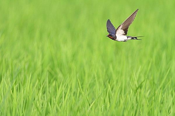 空中で虫を食べてくれる益鳥です