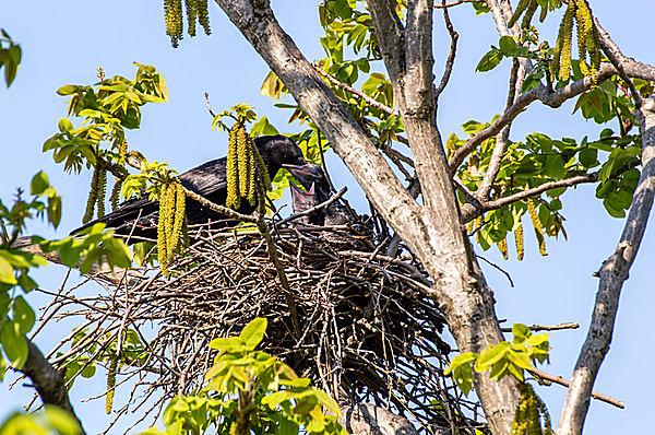 カラスの平均的な繁殖期は4月〜7月
