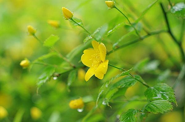 催花雨(さいかう)にうながされ咲くジャパン・ローズ「山吹」の花