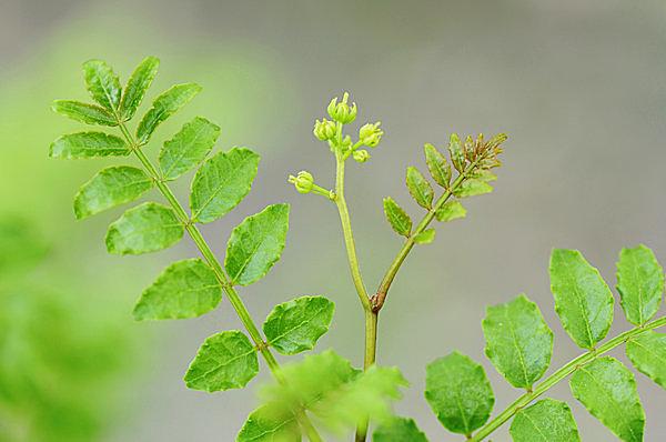 甘雨(かんう)に山椒も「木の芽」を伸ばし、花を咲かせます