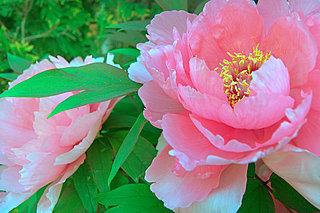 目にも麗し、百花の王が艶やかに咲くころ。七十二候「牡丹華(ぼたんはなさく)」