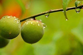 梅の実の熟す頃~6月10日「入梅(にゅうばい)」、そして「梅酒の日」