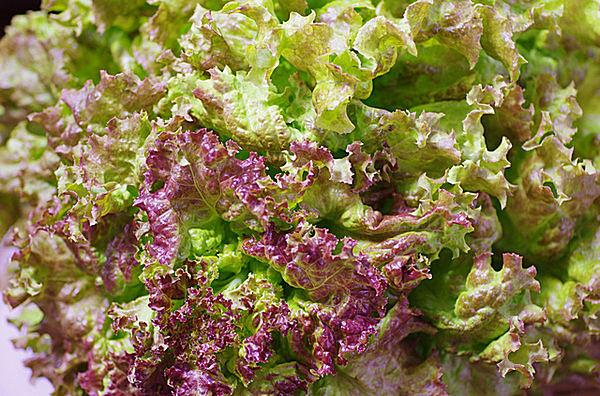 サニーレタス 赤紫色を含むレタスはビタミンAとなるβ-カロテンを多く含みます