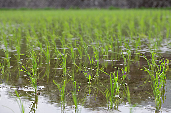 田植のすんだ雨模様の水田