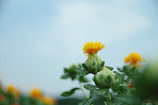 七十二候「紅花栄(べにばな さかう)」。黄からくれなゐへ紅花の色が染まります