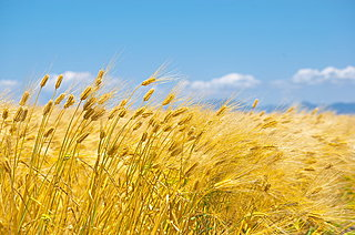 七十二候「麦秋至(むぎのときいたる)」麦が黄金に実るころ