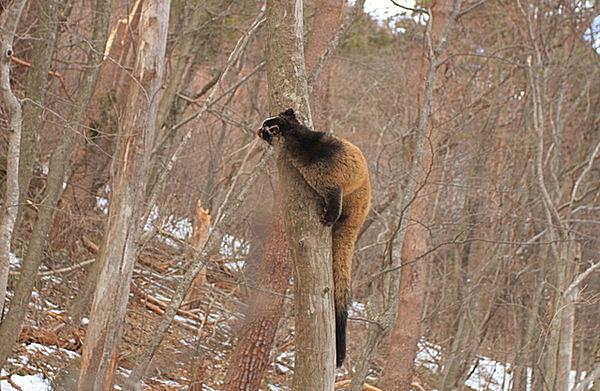 木登りするハクビシン