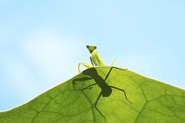 聖なる虫のカマキリが悪役になったワケ・七十二候「蟷螂生(かまきりしょうず)」