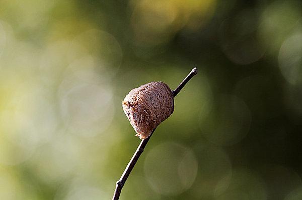 カマキリの卵鞘