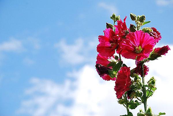 雨空にすっくと立つ名花・タチアオイは癒しと希望の魔法薬!