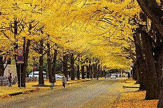 北大のイチョウ並木を見にいこう!!国立大学が黄金色のトンネルで観光名所に!?
