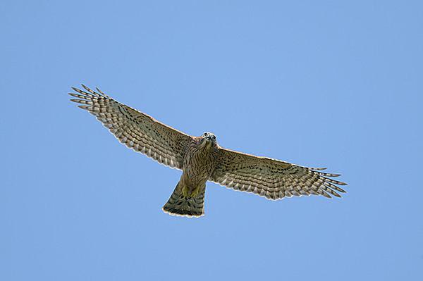 若鷹が真夏の空に羽ばたく季節!七十二候「鷹乃学習」(たかすなわちわざをならう)