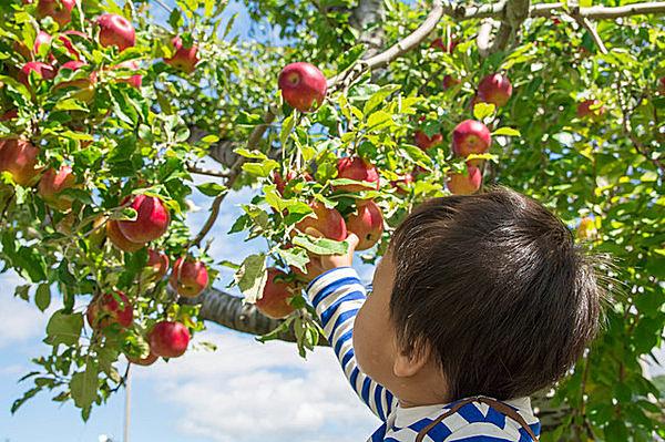「リンゴ狩り」にいってみよう!