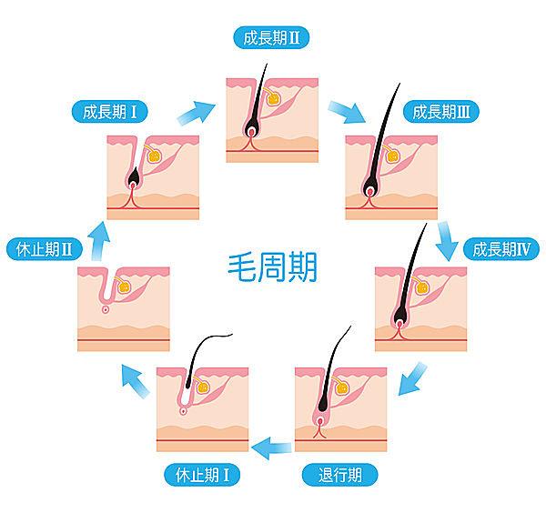 髪の成長サイクル「毛周期」