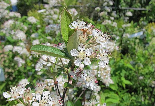 アロニアの花。5~6月に咲きます。