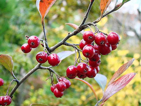 赤い実のアロニアもあります。