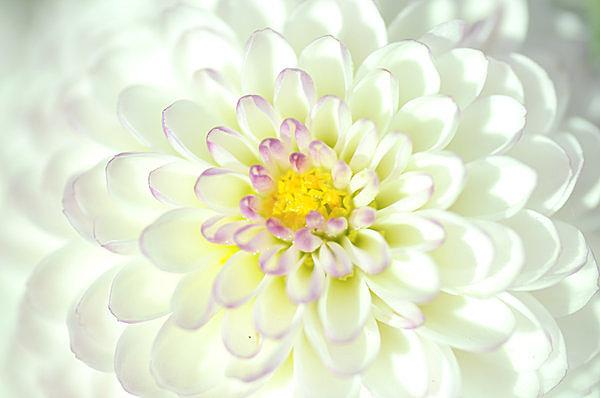 米を集めたように咲く菊の花