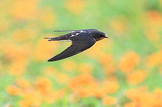 七十二候「玄鳥去(つばめさる)」9月17日~21日 つばめ旅立ち秋深まる頃