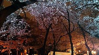 桜の開花&満開予想発表! 桜の宵、東京九段下「靖國神社」で幽玄の世界を楽しんでみませんか?