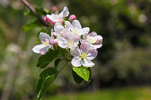 りんごの花 つがる