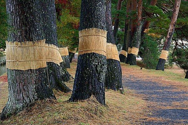 """松の幹に巻かれた「こも巻き」。害虫駆除というけれど、あの""""腹巻き""""に効果はあるのか!?"""