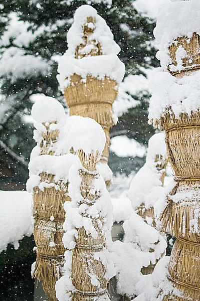 「こも」が雪から守っています。