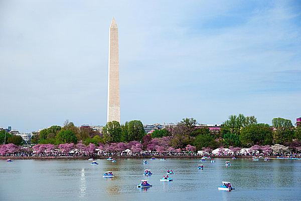 桜が満開のワシントン !! 103年前、日本から贈られた桜に秘められた物語