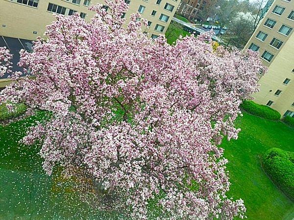住宅街にも桜が植えられている。