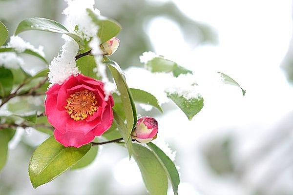 二十四節気「立冬」。山茶花が咲...