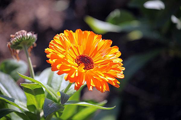 紅葉の晩秋に咲き香る「金盞」。それって何の花?七十二候「金盞香(きんせんかさく)」