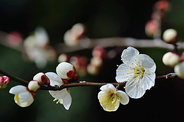 花びらが丸い「梅」。ひと花ずつ枝から咲いていて、控えめながら凛とした雰囲気。