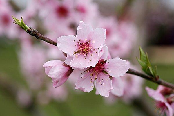 「桃」の花びらは先が少しとがっている。花と同時に葉が出る。