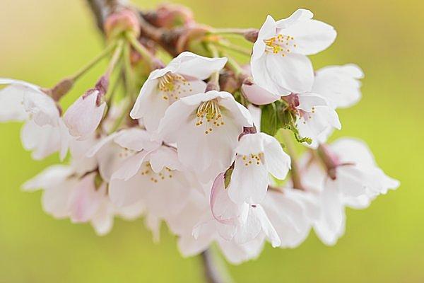「桜」の花びらは先が割れている。花柄が長いのが特徴。