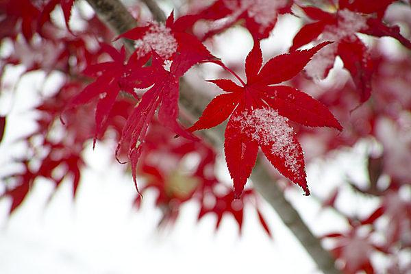 二十四節気「小雪(しょうせつ)」。冷たい雨がやがて雪になるころ