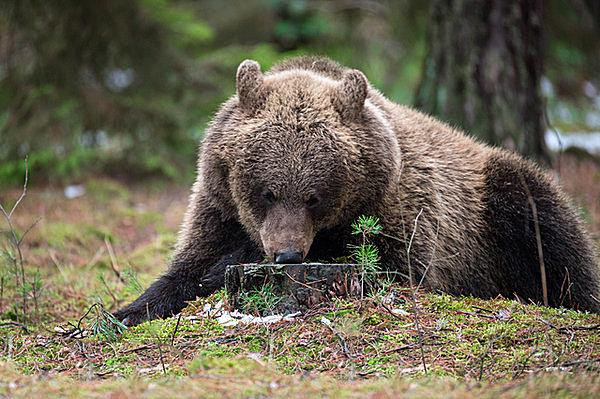 クマは大型哺乳類なのにどうして「冬眠」するの?七十二候熊蟄穴(くまあなにこもる)